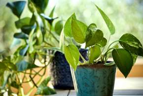money plant vastu tips in hindi ghar me money plant lagane ke fayde  - India TV Hindi