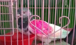 J&K: पाकिस्तान से भारतीय सीमा में घुसा संदिग्ध कबूतर, लगी हुई है कोडेड रिंग