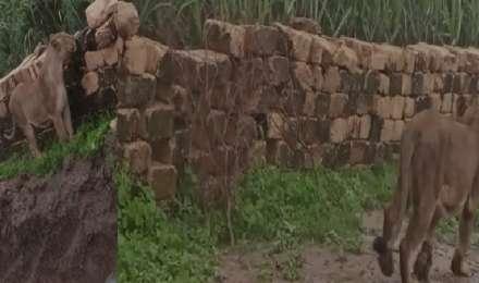 शेर भी हो गया कुदरत मार से मजबूर, जंगल छोड़कर खेत में आना पड़ा