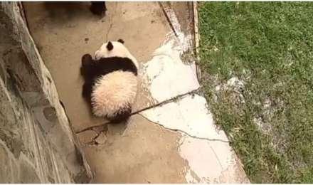 बेबी पांडा का ये क्यूट वीडियो देख आपको याद आ जाएंगे बचपन के दिन