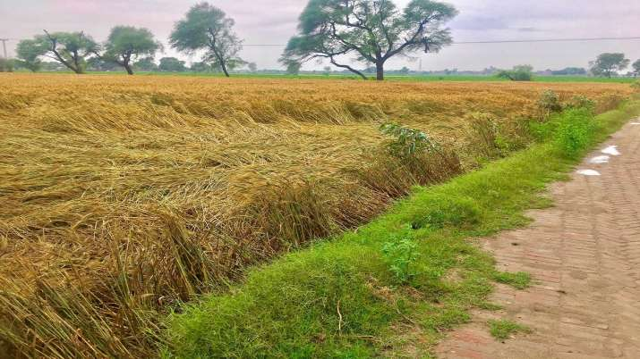 hailstorm destroyed wheat and maize crops