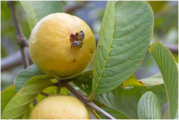 Guava or Amrud