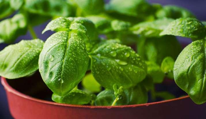Vastu Tips: मां लक्ष्मी की कृपा चाहते हैं तो इस दिशा में रखें तुलसी का पौधा