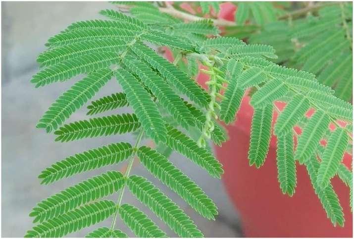 Shami Plant