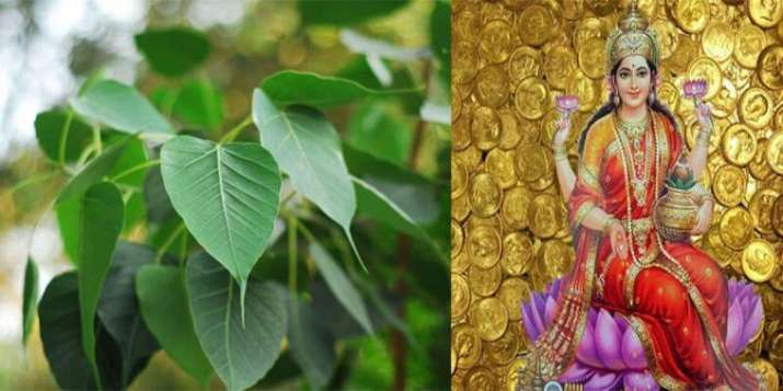 pipal astrology measure- India TV Hindi
