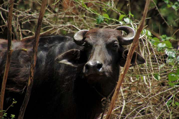 Armed men take dairy owner hostage take away 18 buffaloes in Muzaffarnagar | Representational- India TV