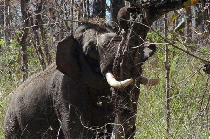 सुपौल में जंगली हाथी का उत्पात, 2 दिन में 5 लोगों की ली जान- India TV
