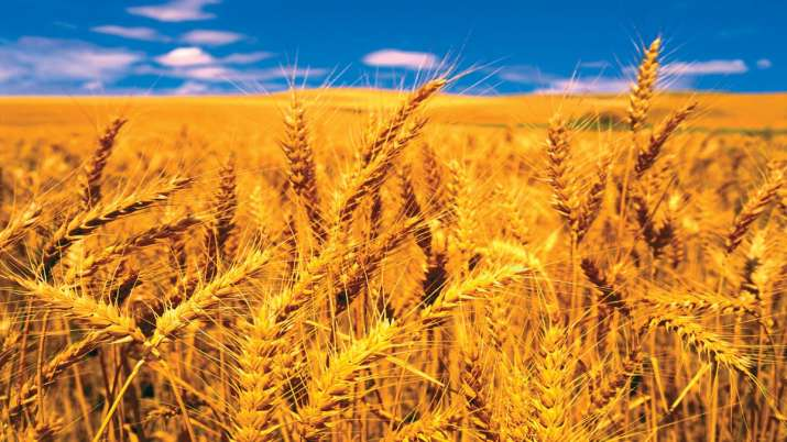 rain is gold for rabi crops, wheat production is estimated to be 1080 million tonnes- India TV Paisa