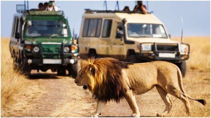 Lion, Gir National Park, Gujrat- India TV