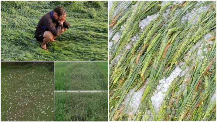 Rain Damaged Crops- India TV Paisa