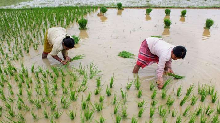 India Kharif sowing, paddy pulses, oilseed, cotton, tur, soybean, groundnut, urad, moong- India TV Paisa