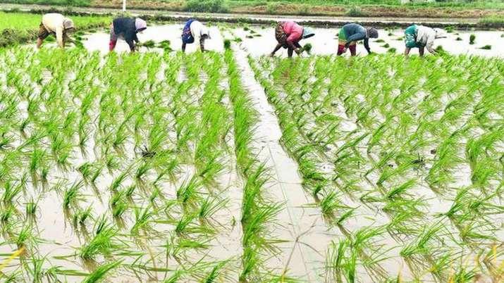 Rice sowing up 17percent so far this Kharif season- India TV Paisa