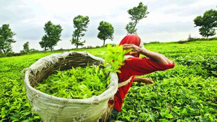 Lockdown impact: Tea production down 54 per cent in April- India TV Paisa