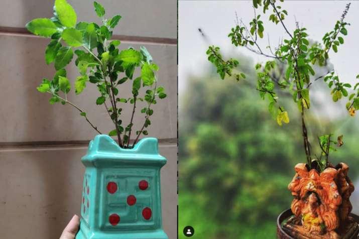 Vastu Tips For Tulsi plant benefits of basil plant at home best direction  upay:Vastu Tips: घर में आने वाली हर मुसीबत का संकेत देती हैं तुलसी, लगाने  से पहले जरूर जान लें ये बातें - India TV ...