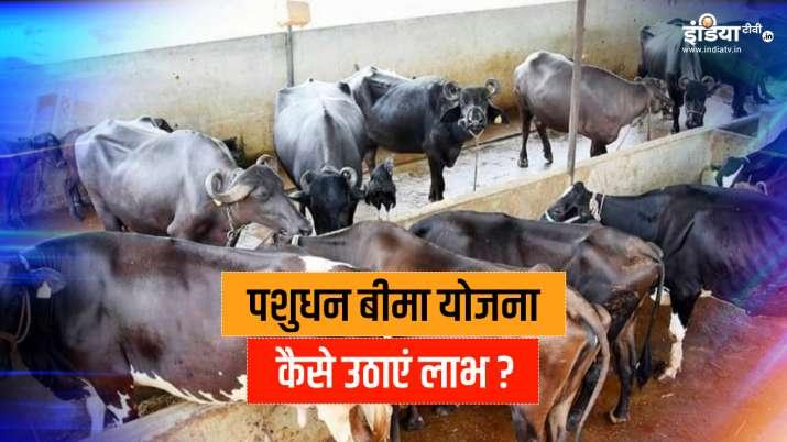 all about pashudhan bima yojana । पशुधन बीमा योजना: पशुपालकों के लिए मददगार बनेगी ये योजना, यहां है - India TV Paisa