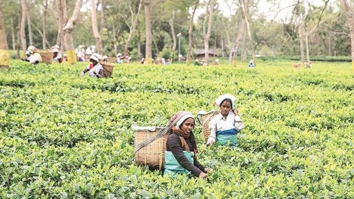 Tea exporters fear dip in export volume in current year- India TV Paisa