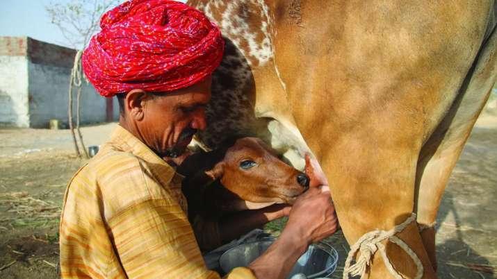 Banas Dairy to pay Rs 1,132 crore bonus to 5 lakh dairy farmers- India TV Paisa