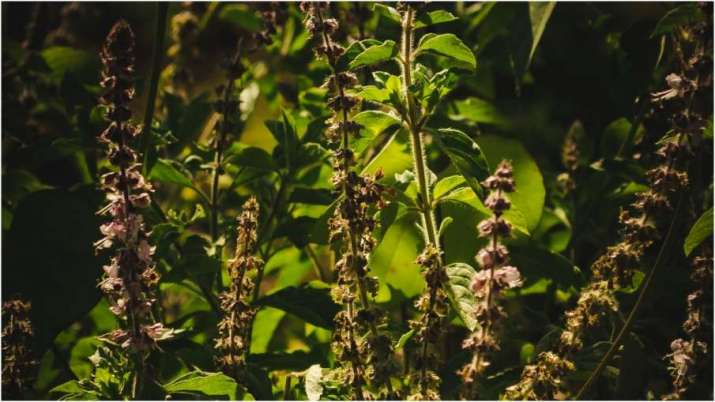 Vastu Tips: Know in which direction of the house the Tulsi plant should be located?Vastu Tips: जानिए, घर की किस दिशा में होना चाहिए तुलसी का पौधा?