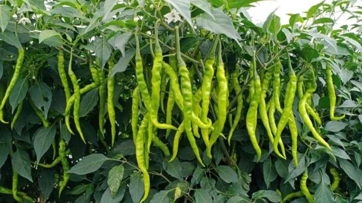 green chilli farmers upset due to low cost in Madhya pradesh- India TV Paisa