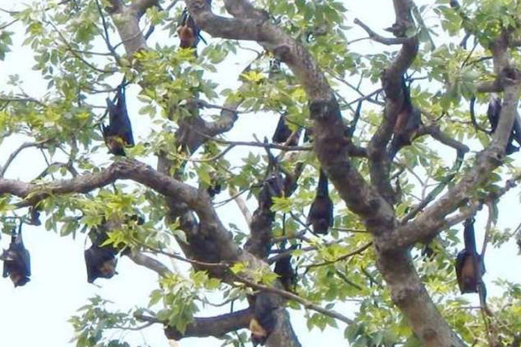 Nipah alert? This Bihar village worships bats- India TV Hindi