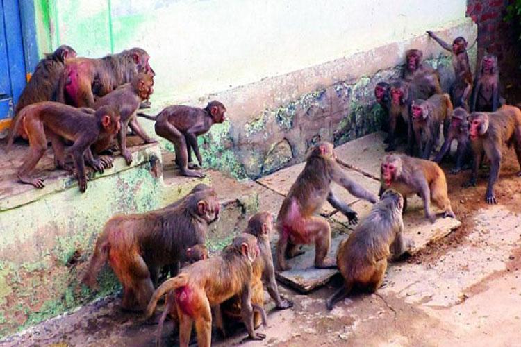 Monkey Fever- India TV Hindi