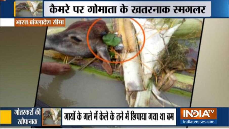 बांग्लादेश बॉर्डर पर गायों के गले में लॉकेट बम, खौफनाक साजिश का हुआ खुलासा- India TV Hindi