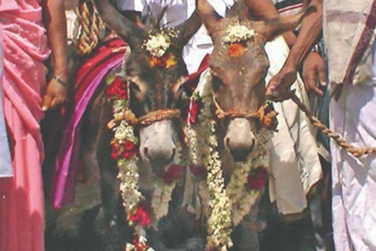 Donkey Wedding- India TV Hindi