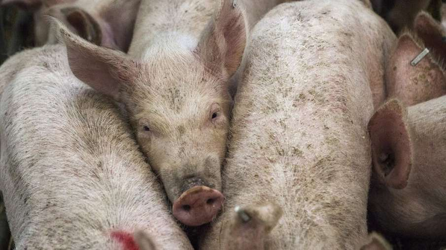 Philippines confirms African swine fever, culls 7000 pigs | AP - India TV Hindi