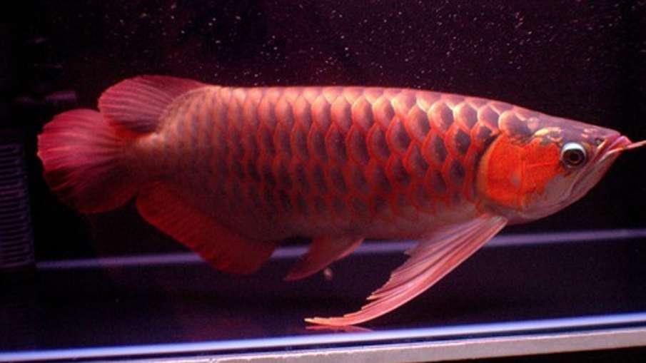 arowana fish- India TV Hindi