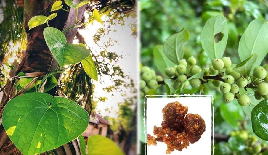 गिलोय और गुग्गुल का पौधा- India TV Hindi