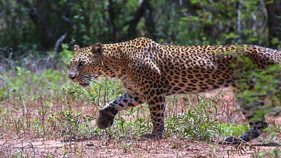 Leopard- India TV Hindi