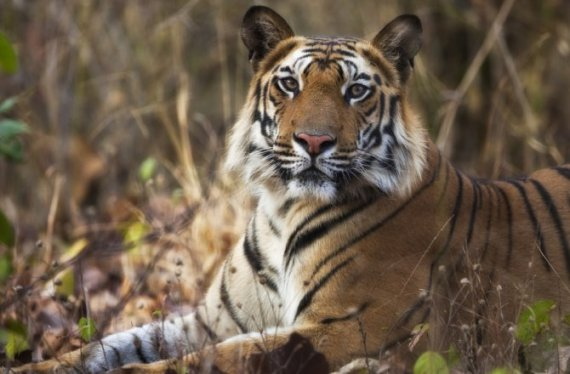 India's 2018 Tiger Census makes it to Guinness Book of World Records- India TV Hindi
