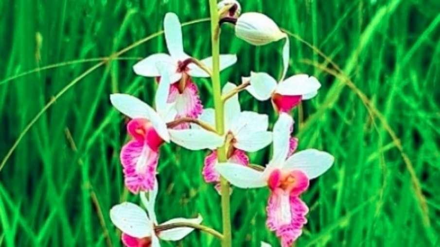 Rare Orchid Plant, Rare Orchid Plant India, Rare Orchid Plant Dudhwa National Park- India TV Hindi