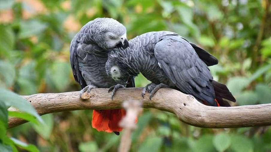 Parrots Swearing, Parrots Swearing Zoo, Parrots Swearing England, Parrots Abusing- India TV Hindi