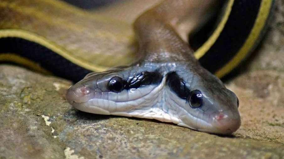 Two Headed Snake, Two Headed Snake Home, Two Headed Snake Woman, Snake with wo Heads- India TV Hindi