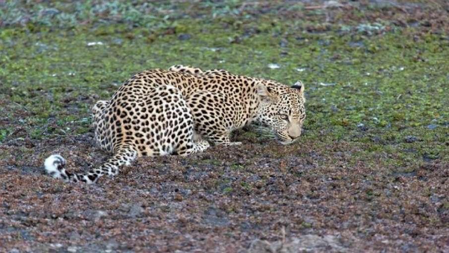 leopard danger play loud music wear helmet forest department to farmers । तेंदुए से बचने के लिए उठाए- India TV Hindi