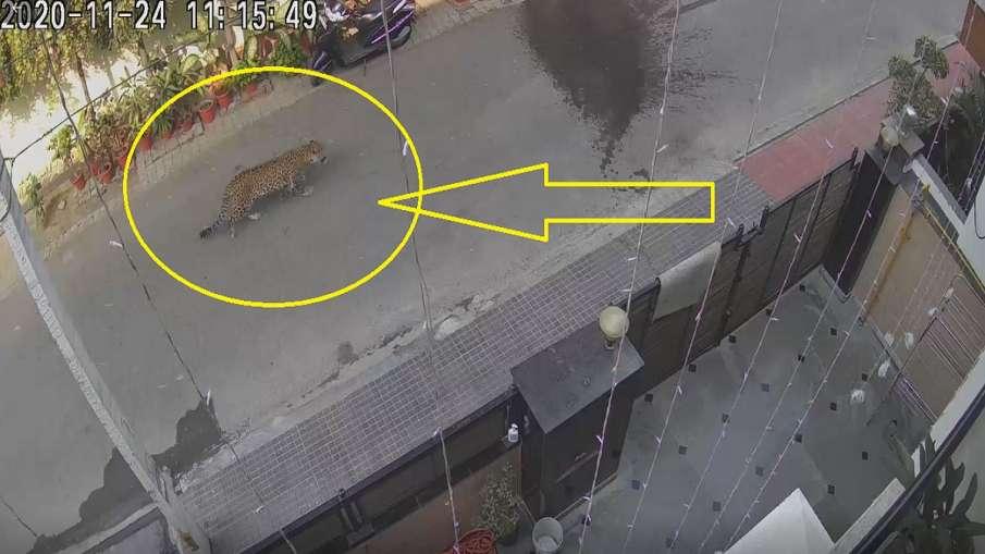 leopard seen in ghaziabad video goes viral । गाजियाबाद में सड़क पर दिखा तेंदुआ, लोगों में खौफ, वीडिय- India TV Hindi