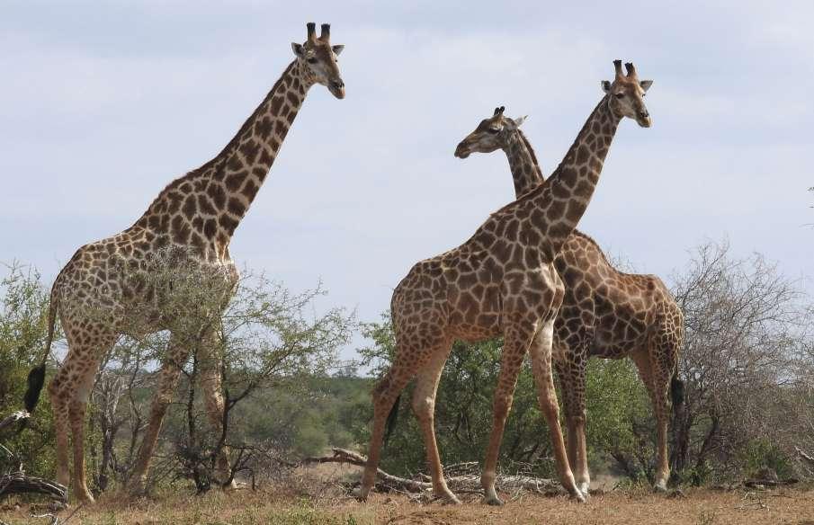 Giraffe grass eating video goes viral on social media- India TV Hindi