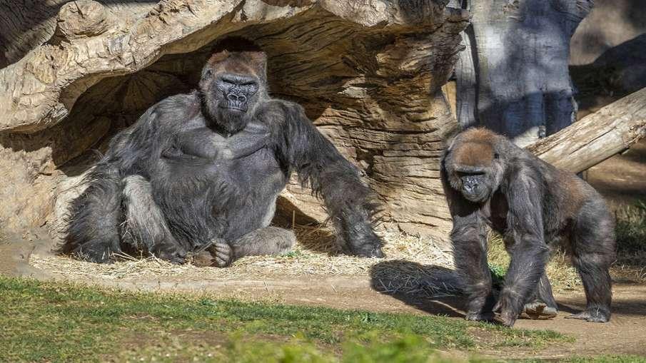 two gorillas coronavirus test positive in san diego...- India TV Hindi