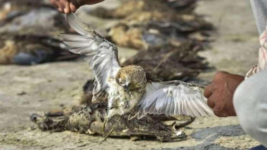 Himachal Pradesh reports 381 more bird deaths- India TV Hindi