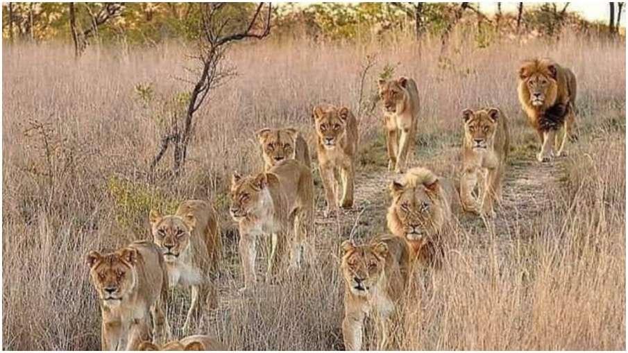 lion pride- India TV Hindi