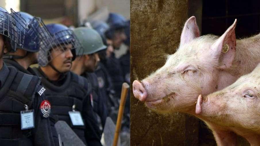 Pakistan Pigs, Pakistan Police Pigs, Pigs Police Pakistan, Pakistan Pigs News- India TV Hindi