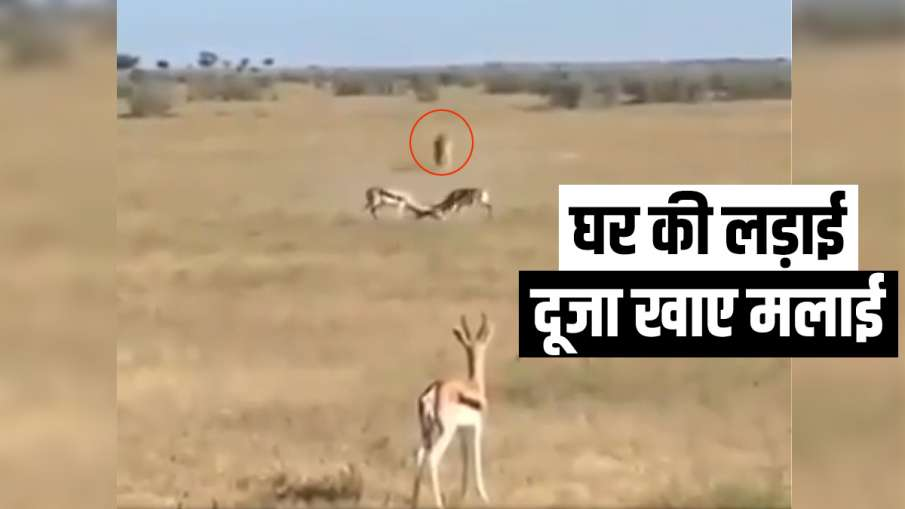deer fight- India TV Hindi
