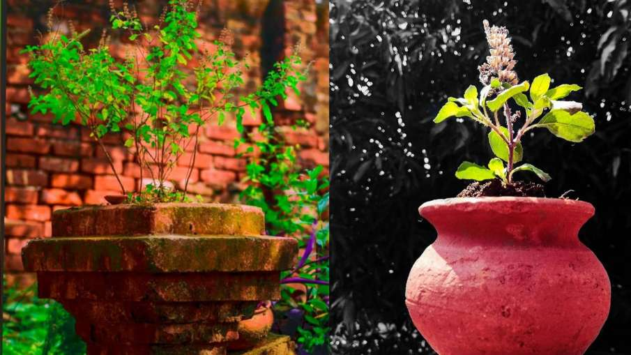 vastu tips, tulsi plant, holy Basil, tulsi plant in house vastu, tulsi directions, vastu tips for ho- India TV Hindi