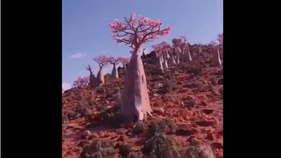 video of desert rose tree- India TV Hindi