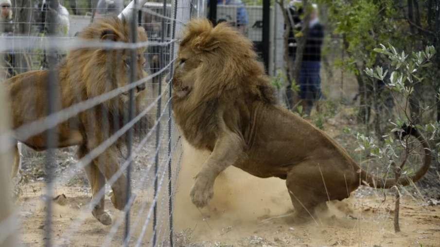 भारत में पहली बार इंसानों से जानवरों में फैला कोरोना, 8 शेर पाए गए संक्रमित- India TV Hindi