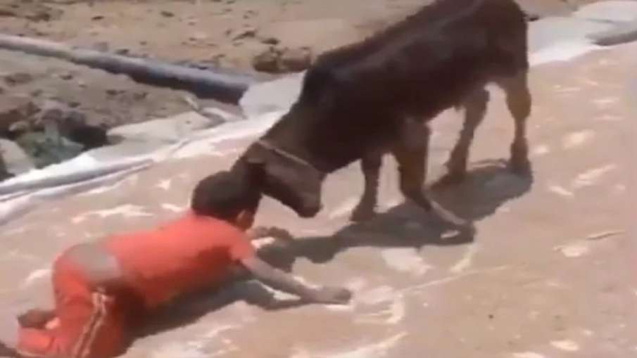 kid fight with calf- India TV Hindi