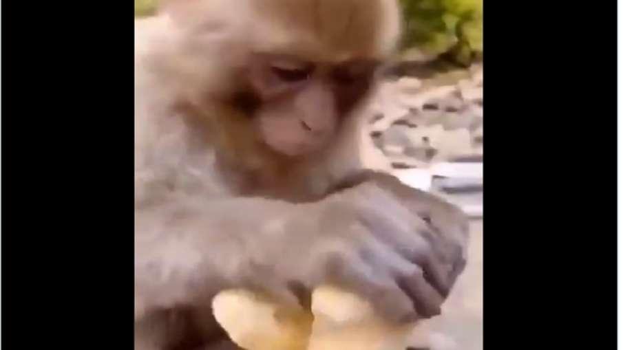 Monkey taste ginger- India TV Hindi
