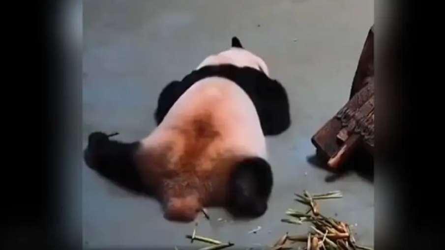 panda video- India TV Hindi