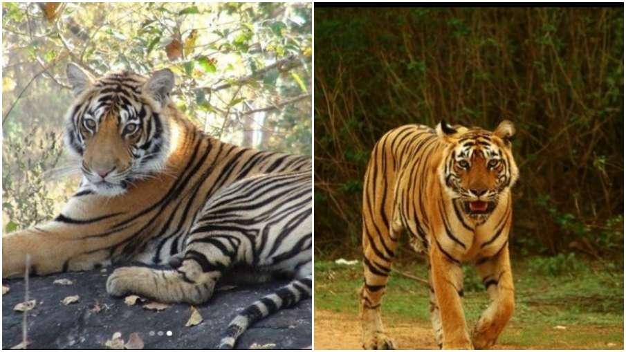 tiger day- India TV Hindi